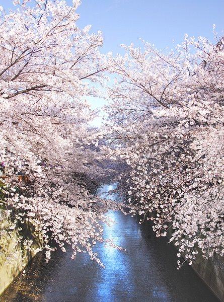周辺環境(春の目黒川)